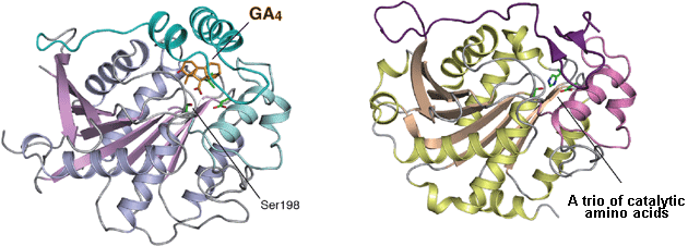 The crystal structures of gibberellin receptor (left) and lipase (right).