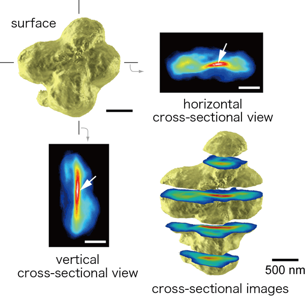 Three-dimensional image reconstructed of human chromosomes