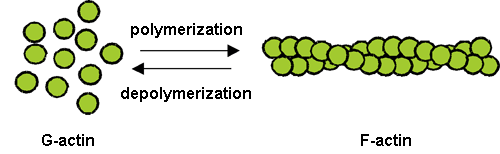 Fig. 1 Polymerization and depolymerization of actin.