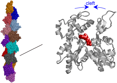 Fig. 3 Structural model of F-actin.