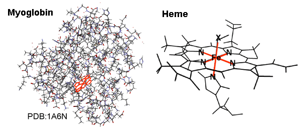 Fig. 1	Example of molecular structure of myoglobin and magnified view of its inner heme.
