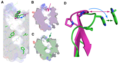 Fig. 2	Structure of lipocalin-type PGDS with open (B) and closed (C) lids of pouchlike structure