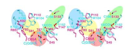 Fig. 4	Steric structure onto which amino acid residues at the active sites of lipocalin-type PGDS and hematopoietic-type PGDS are superimposed