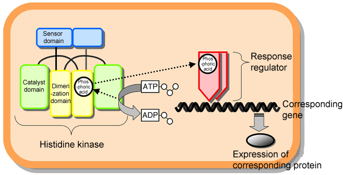 Fig. 1 Schematic of two-component signaling system used by microorganisms to adapt to the environment.