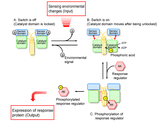 Fig. 4 Schematic of mechanism behind converting environmental changes sensed by histidine kinase into phosphorylation signals.