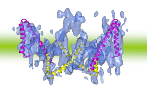 Fig. 3 Three-dimensional structure of band 3 (opening outward) and V-shaped structure of ClC-type chloride ion channels