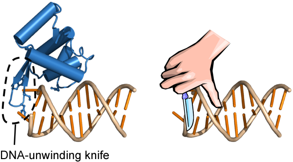 Fig. 1 DNA-unwinding knife of Werner helicase observed in this study