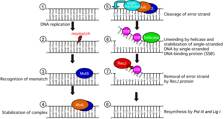 Dna Replication Protein Protein in Dna Mismatch