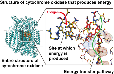 Fig. 2 Entire structure of cytochrome oxidase from bovine myocardium