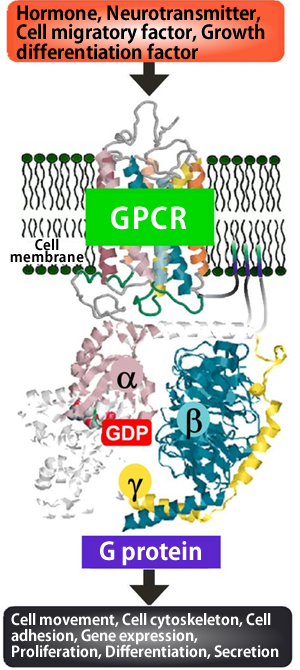 Fig. 1 Signal transduction via G protein