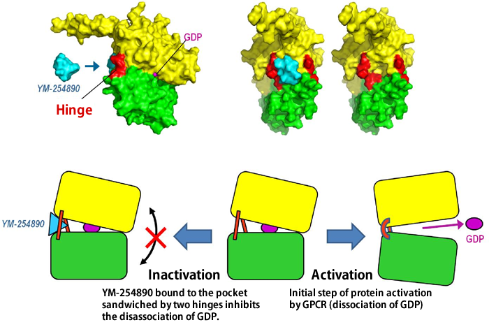 Fig. 4 Mechanism of inactivation of G protein by YM-254890