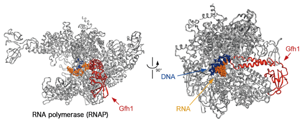 Fig. 2 Crystal structure of complex of RNAP and Gre factor homologue (Gfh1)