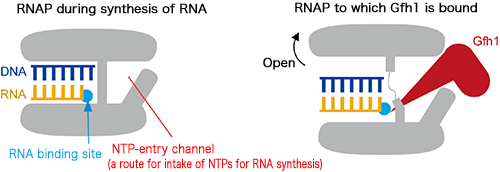 Fig. 3 Mechanism of inhibiting RNAP by Gfh1