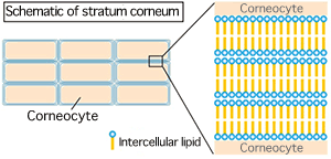 Fig. 1 Schematic of stratum corneum