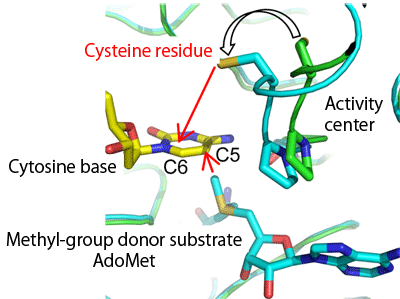 Fig. 2  Positional relationship between cysteine residue at catalytic center and substrate cytosine base