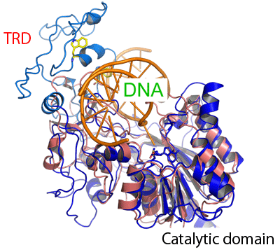 Fig. 3  Model of complex of catalytic domain and DNA