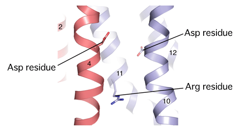 Fig. 3 Amino acid residues important for SecDF function