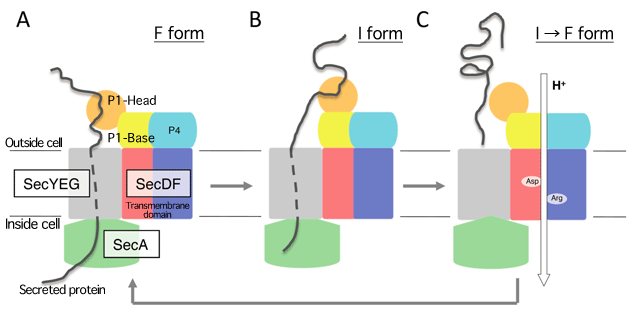 Fig.4 Model of SecDF function enhanced by proton motive force (PMF)