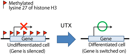 Fig. 1 UTX switching gene from off to on
