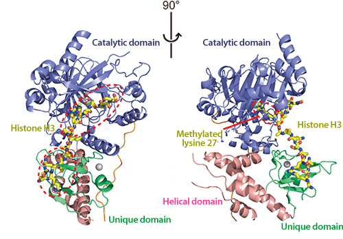 Fig. 2 Three-dimensional structure of UTX bound to histone H3