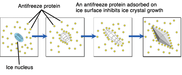 How an antifreeze protein inhibits ice crystal growth (schematic illustration)