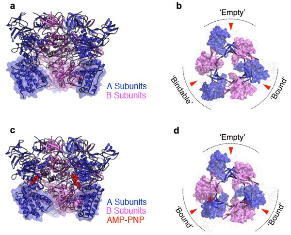 Fig. 2 X-ray crystal structure of the catalytically-active portion (A3B3 complex)