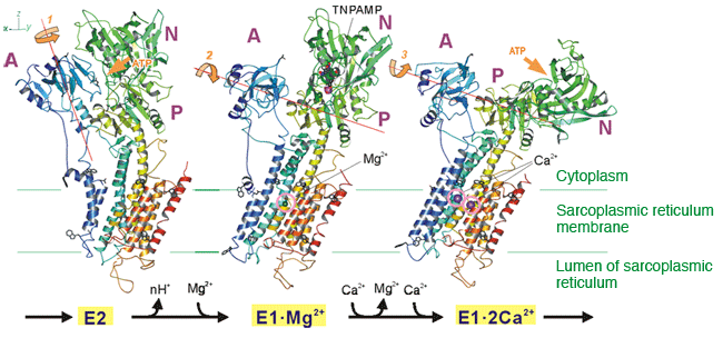 Fig. 1	Structural changes in a calcium pump as a result of the binding to calcium ions