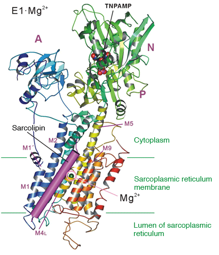 Fig. 2	Sarcolipin binding site