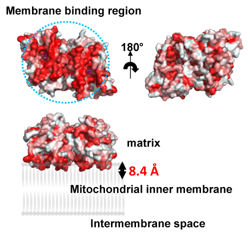 Fig. 2   Membrane-binding region of TAO (upper left) and proposed binding model of the TAO dimer to membranes.