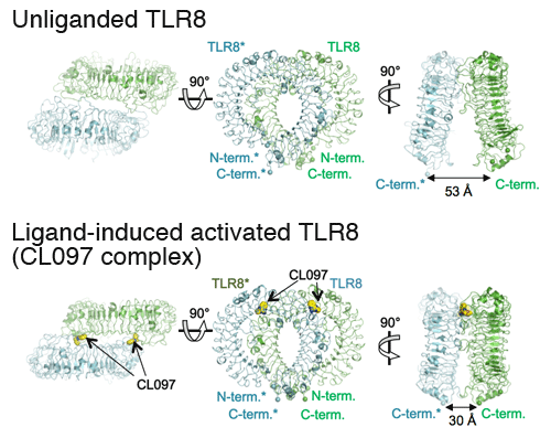 Fig. 1 Crystal structure of TLR8 dimer