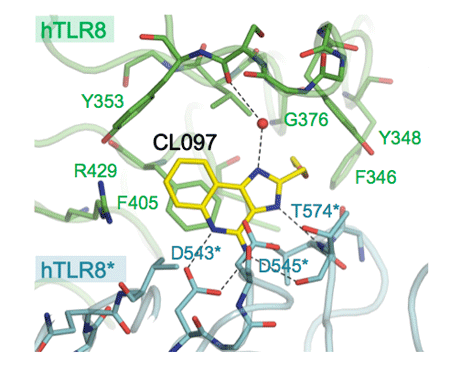 Fig. 2 Enlarged view of ligand-binding site of TLR8