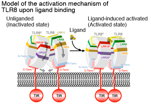 Fig. 3 Model of the activation mechanism of TLR8 upon ligand binding