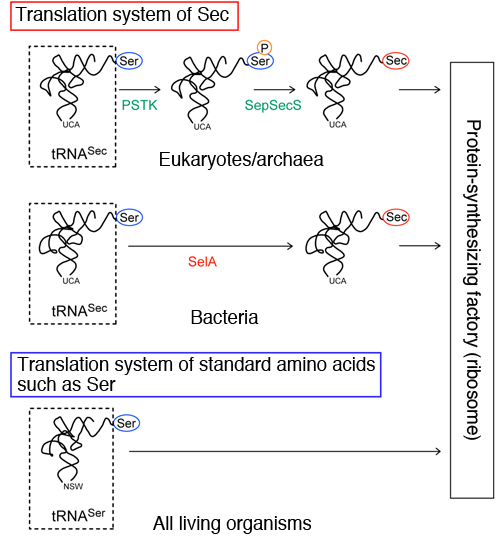 Fig. 2		Translation systems of Sec and standard amino acids