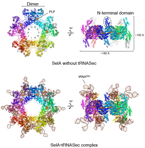 Fig. 3	Overall structures of SelA with and without tRNASec