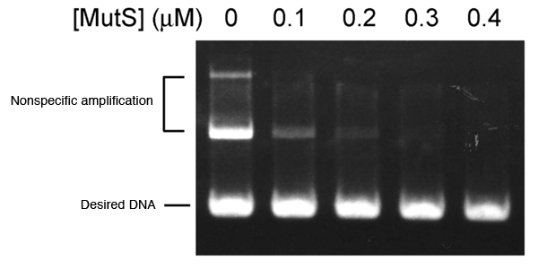 Fig. 4	Suppression of nonspecific amplification by MutS