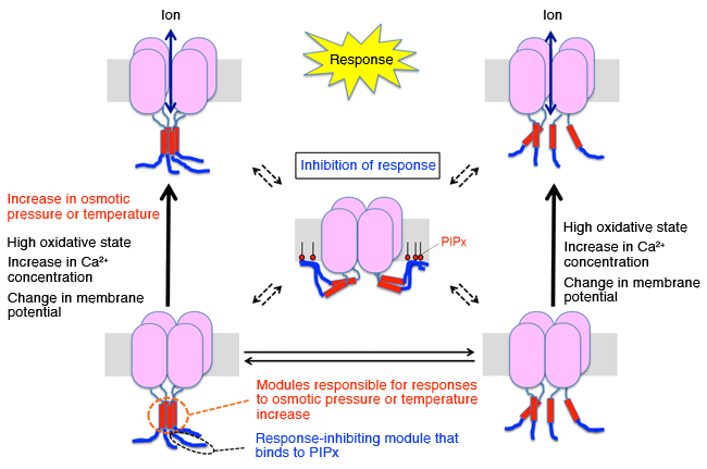 Fig. 3	Schematic of TRPGz functional mechanism speculated from the present results