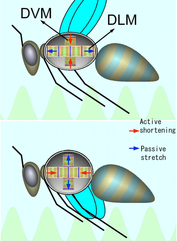 Fig 1. Schematic diagram showing the action of insect flight muscles.
