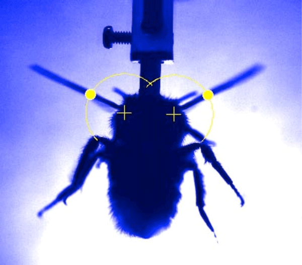 Fig. 3. One of the frames of a movie recording the wing-beat of a bumblebee.