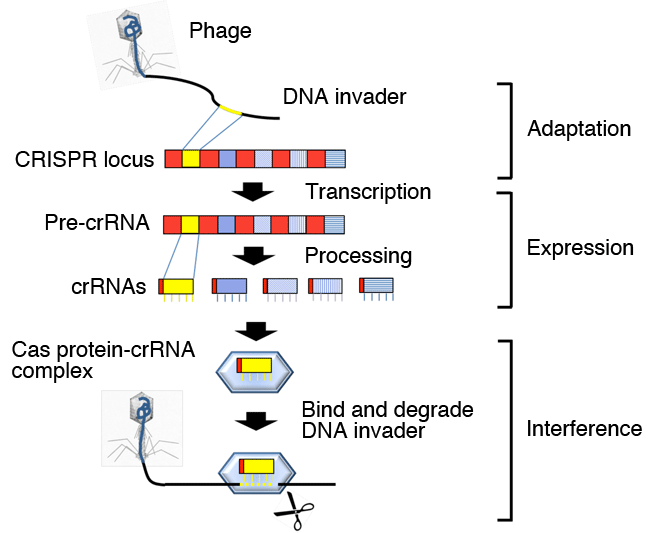 Fig. 2	Action mechanism of CRISPR-Cas system (example)
