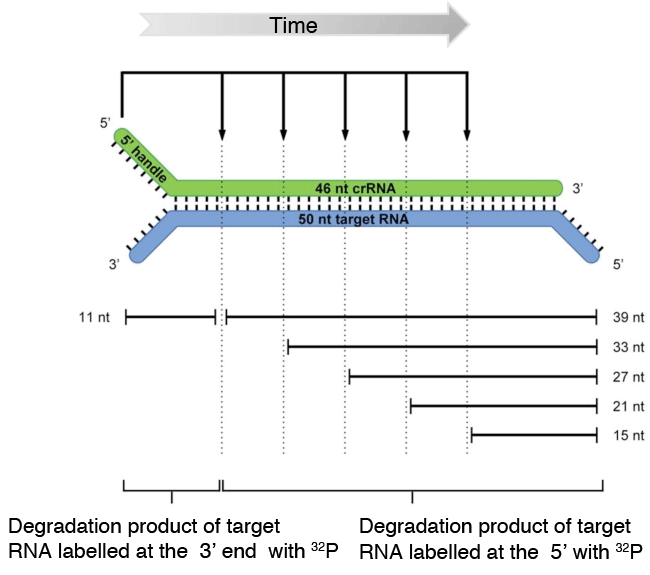 Fig. 4	Model for cleavage of target RNA by T. thermophilus Cmr complex