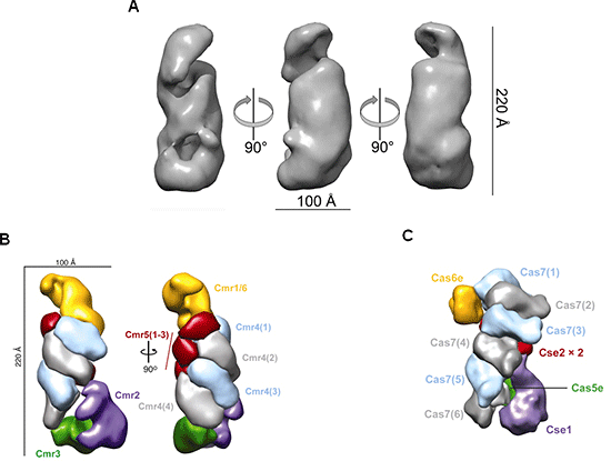 Fig. 5	Structure of Cmr complex obtained by electron microscopy