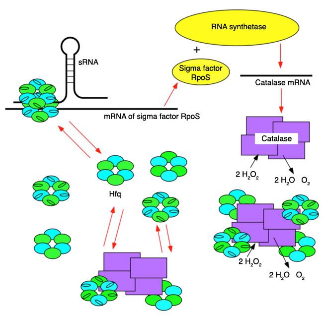 Fig. 4	Model of protein synthesis control by Hfq-catalase complex