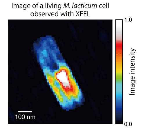 Fig. 4	Reconstructed image of a living M. lacticum cell, obtained by numerically analyzing CXD pattern measured using XFEL