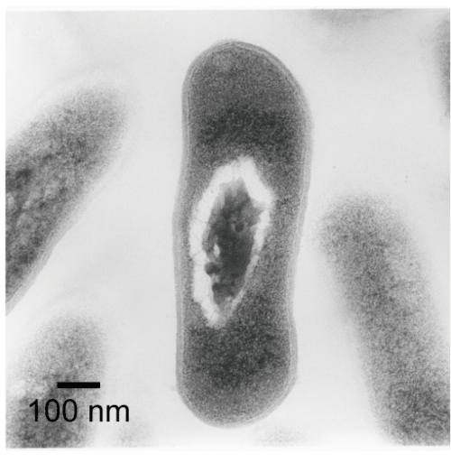 Fig. 5	Transmission electron microscopy image of a living M. lacticum cell