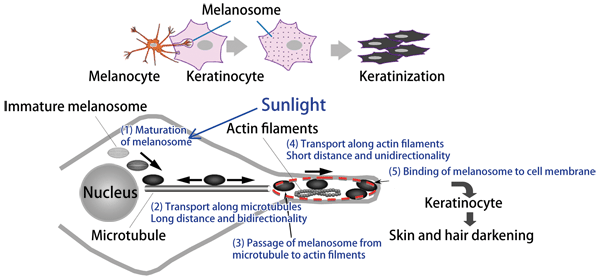 3 mechanism of melanosome transport in melanocyte