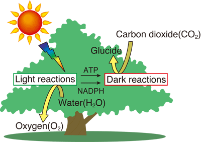 Fig. 1  Schematic of photosynthesis