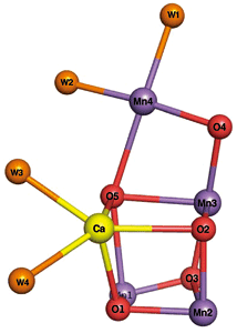 Fig.4  Structure of catalytic center in PSII