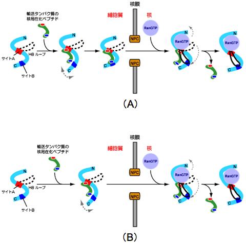 細胞質受容体 - meddic
