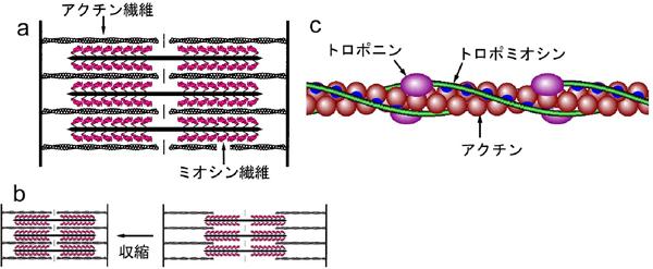 図1. 脊椎動物骨格筋(横紋筋)の ... : 単位のしくみ : すべての講義