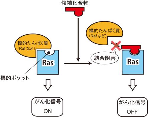 がん遺伝子産物Ras蛋白質の新規...